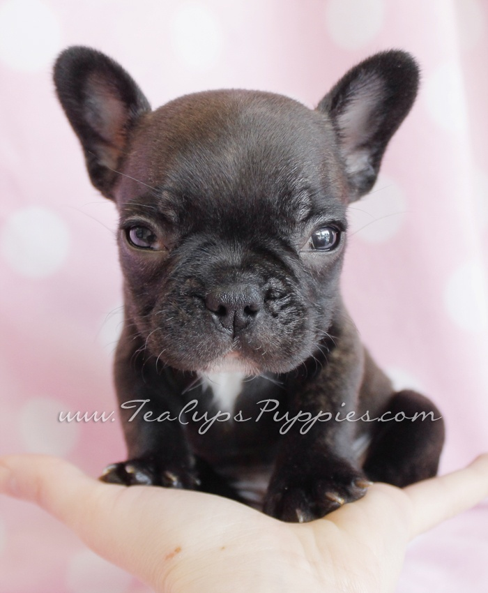 frenchie puppy french bulldog puppies pinterest to be puppys and frenchie puppies. Black Bedroom Furniture Sets. Home Design Ideas