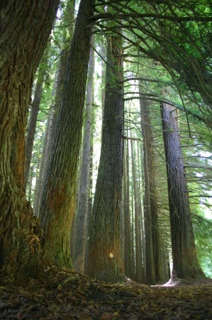 Redwoods in Otways Rainforest