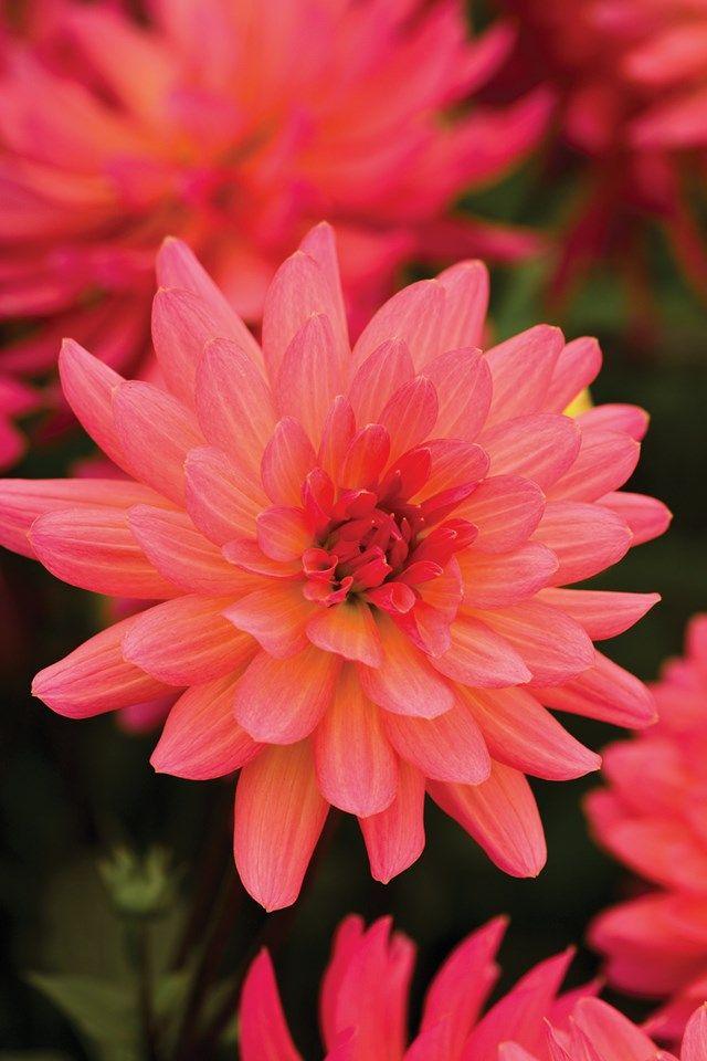 Best 25+ Dahlia Garden Ideas Ideas On Pinterest