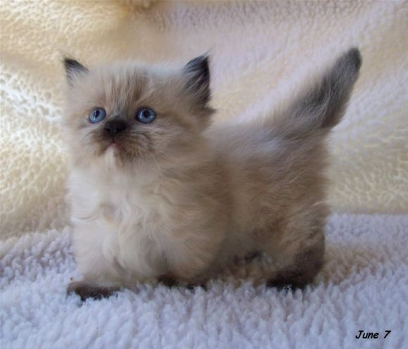 "There's an entire breed of dwarf cats with abnormally short legs. They are called ""Munchkin Cats."""