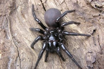 Funnel-Web Spiders: Families, Bites & Other Facts