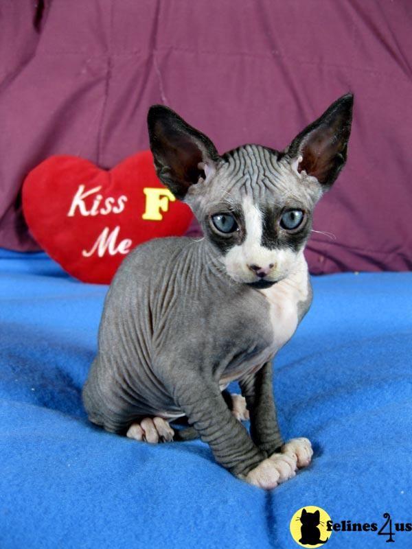 Munchkin Sphynx Cat | Sphynx Cat Wallpapers | Fun Animals ...
