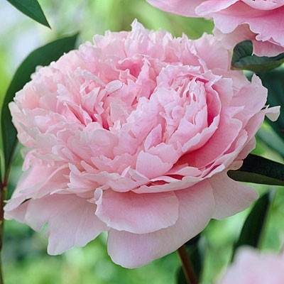 Peony Sarah Bernhardt from American Meadows, your trusted source for Peony.  We offer gardeners guaranteed Peony Sarah Bernhardt and all the information and confidence needed to succeed.