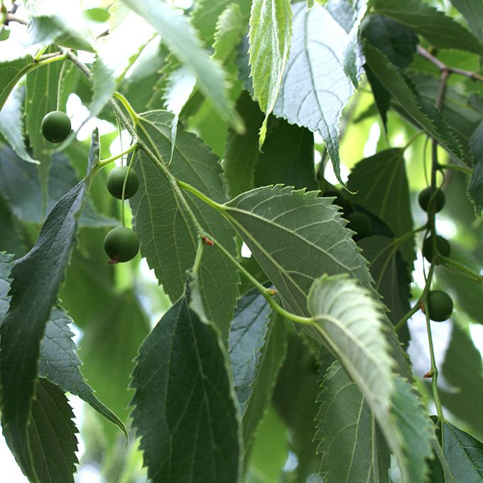 Celtis australis (Bagolaro, Spaccasassi)