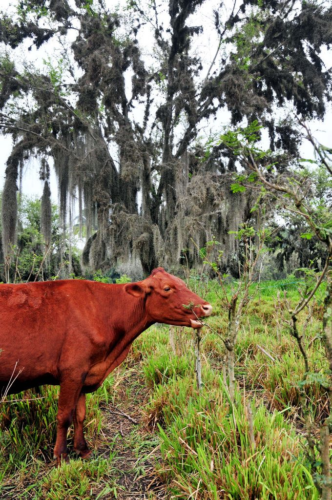 From Cornell, a guide to livestock grazing in woodlands: silvopasturing