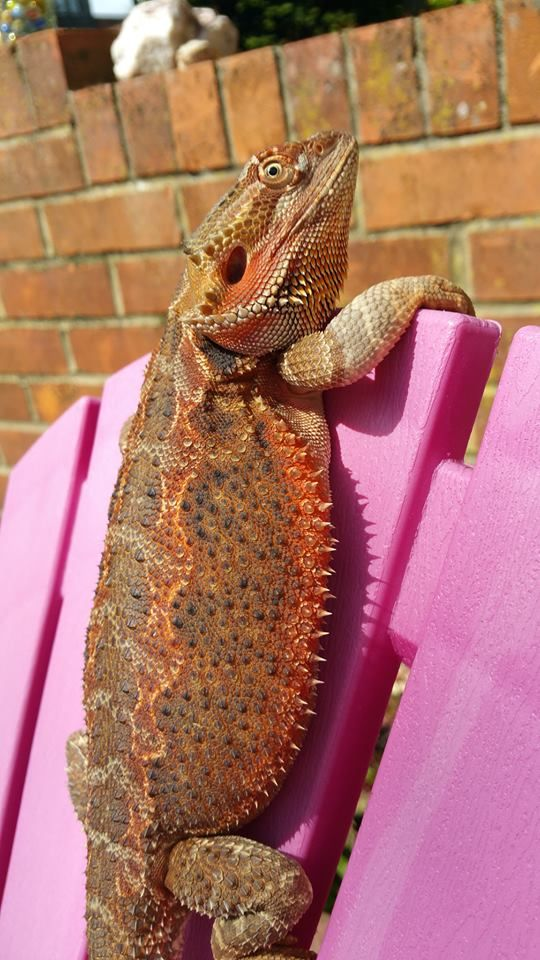 17 best images about bearded dragons on pinterest - Bearded dragon yawn ...