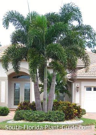 triple foxtail palm