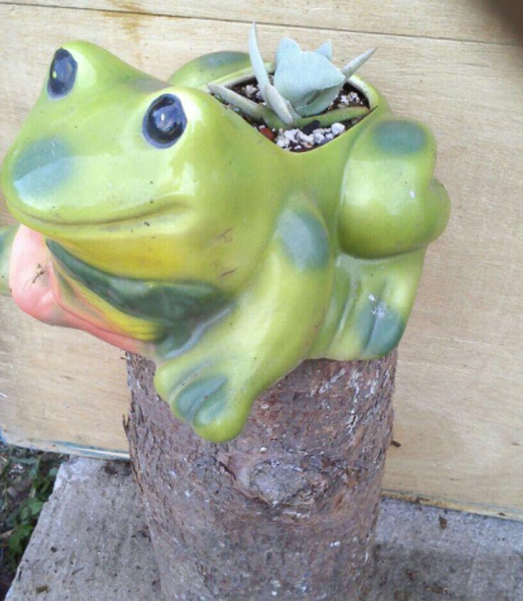 """Froggie con """"aleta de tiburón""""/Crassula falcata"""