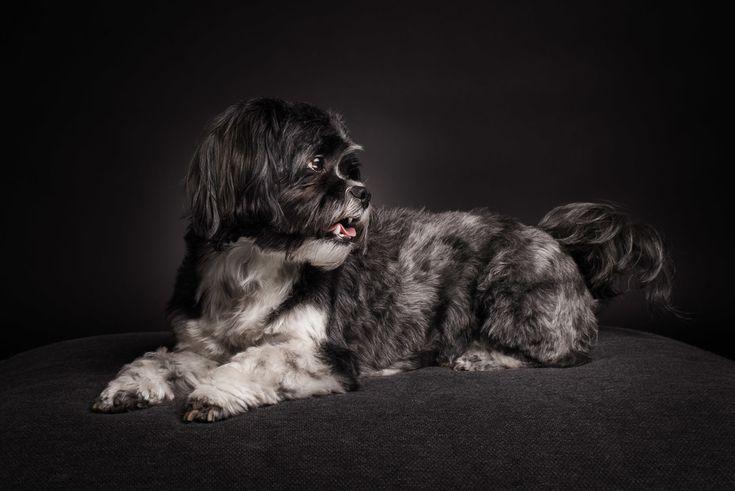 Shooting Kleiner Hund großes Herz — Oskar   #shihtzu #malteser #mix #süßer #hund #dog #neuss #studio #fotografie #hundefotografie #shooting #pfotentick