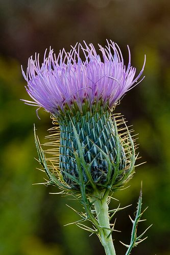Thistles and sea thistles are my favourite flower. There lovely purple colour and strong architectural shape add depth and structure to boarders.