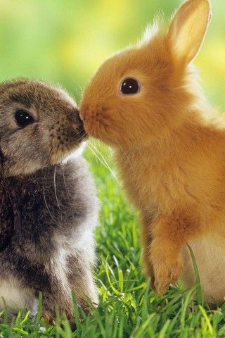 Rabbits, Love, Cute, Fluffy, Animal, Two rabbits in love
