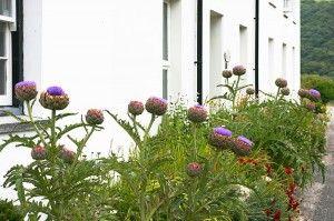 artichoke plant blooms with purple flowers in landscape garden bed beside house