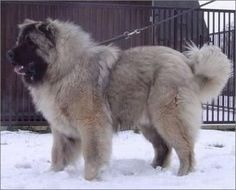 Russian Caucasian mountain dog Thinking an amazing xmas present for me.... yup! lol