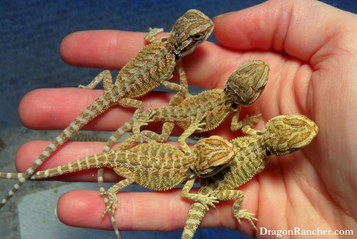 132 best images about best pets ever bearded dragons on for Chaise yoda