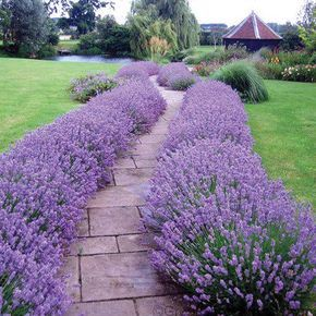 Lavender Hidcote is one of our very best-selling sun perennials where it makes the perfect low-growing hedge ! This drought-tolerant & hardy perennial has extremely fragrant foliage & flowers that are enjoyable in the garden or cut-fresh & added to flower arrangements! Lavender Hidcote can also be cut & dried for use in potpourri & other dried flower arrangements. This easy-to-grow sun perennial thrives in full sun & normal garden soil. Plants vigorously grow...