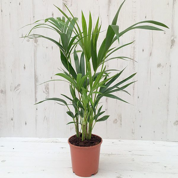 An easy to grow palm for the house or conservatory