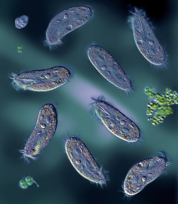 CILIATES – AN IMAGE USED ON THE COVER OF APPLIED & ENVIRONMENTAL MICROBIOLOGY VOL. 74