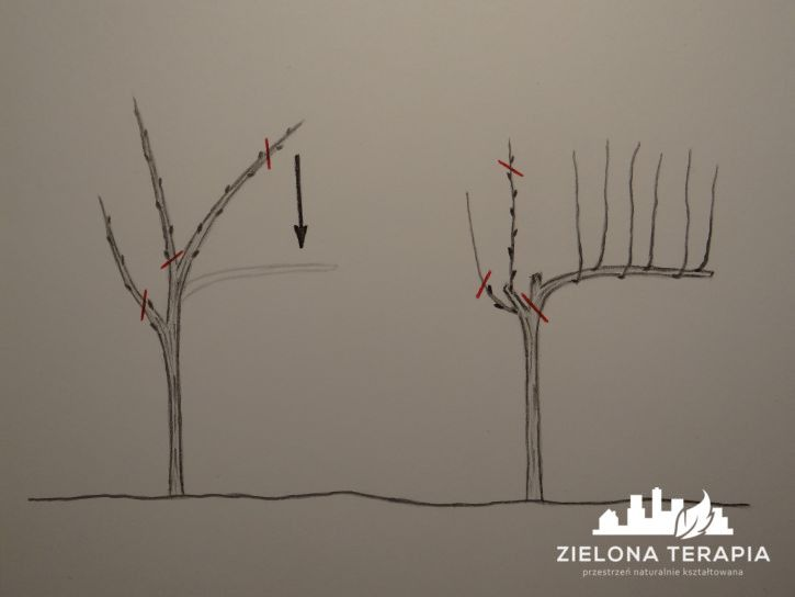 W najbardziej klarowny sposób, wyjaśniamy temat cięcia winorośli, pojęcia dotyczące budowy, okresów i sposobu cięcia winogron.   http://ZielonaTerapia.pl/portfolio/nadzor-nad-realizacja-ogrodu-hortiterapeutycznego/
