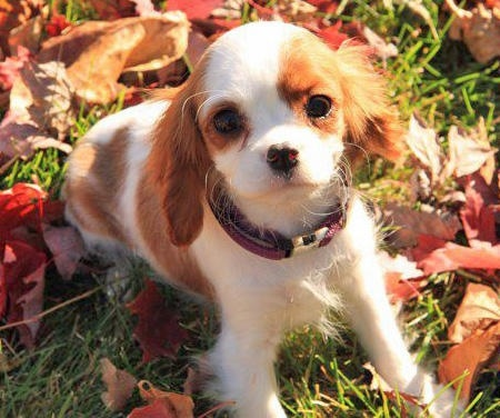 Dogs In The Cartoons: Fancy Dogs, Charles Spaniels And, Puppys Faces, Cats And Dogs, Cavalier King Charles, Spaniels Puppys, Animal Obsession, King Charles Spaniels, Blenheim Spaniels