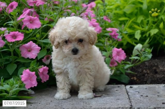 Poodles (Mini & Toy) Puppy for Sale in Ohio