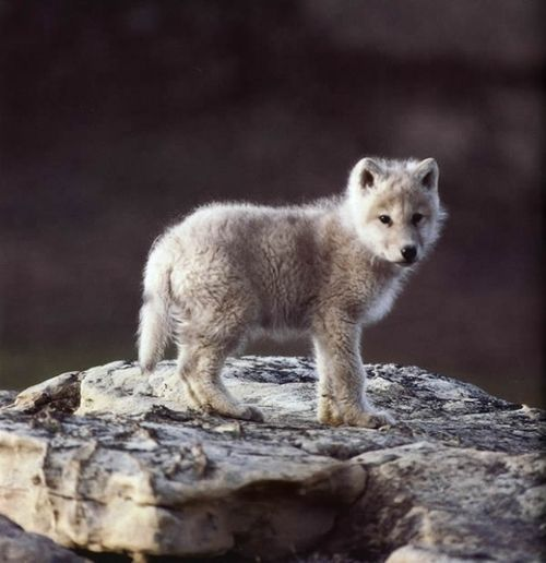 Wolf pup Alopex Lagopus, Wolfpup,  White Foxes, Lonely Wolf, Wolf Puppies, Baby Wolves, Baby Wolf, Baby Animal, Arctic Foxes