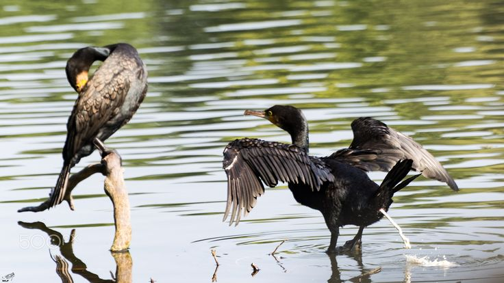 Shame on you Hans! - Two black cormorant in rather shameful situation in palace lake Charlottenburg.