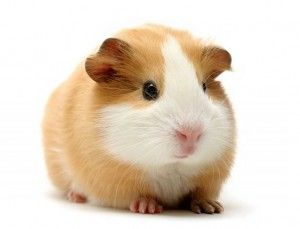 Vitamin C Calculator How Much Vitamin C Does a Guinea Pig Need? This calculator helps you calculate how much Vitamin C your guinea pig needs. The calculations are based on the needs of an average guinea pig, which requires 10 to 30 mg of Vitamin C per kilogram of weight a day. Pregnant and sick …