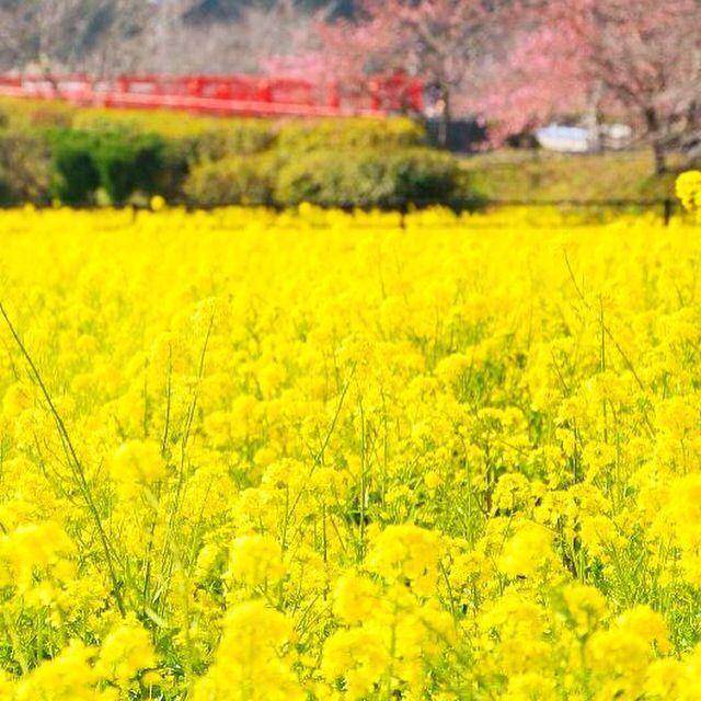 「みなみの桜と菜の花まつり」 February 24, 2015