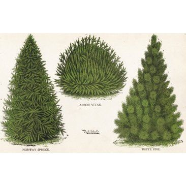 Check out this item at One Kings Lane! Norway Spruce & White Pine, C. 1880