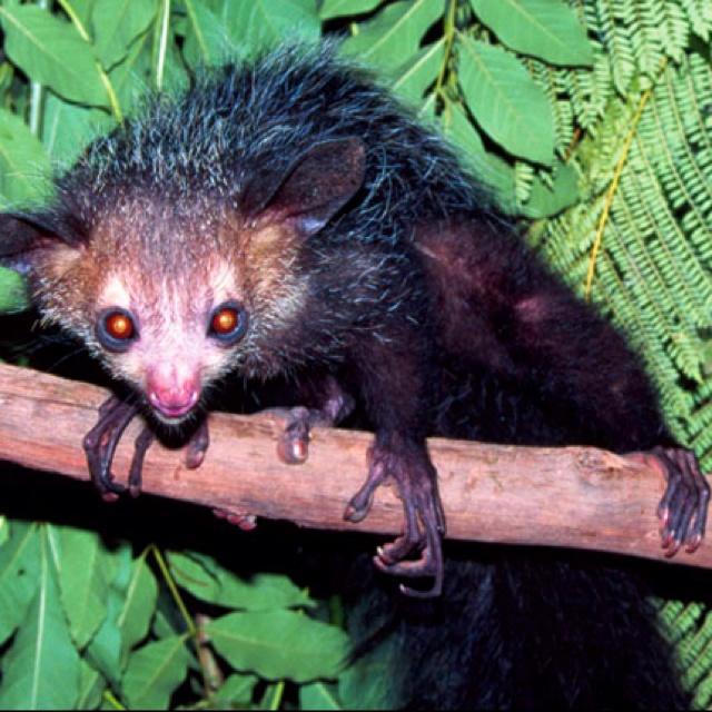Adult Aye-Aye lemur | animals | Pinterest | Lemurs