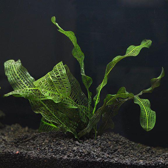 Madagascar Lace Aquatic Plants For Freshwater Aquariums Plants Aquatic Plants Plant Benefits