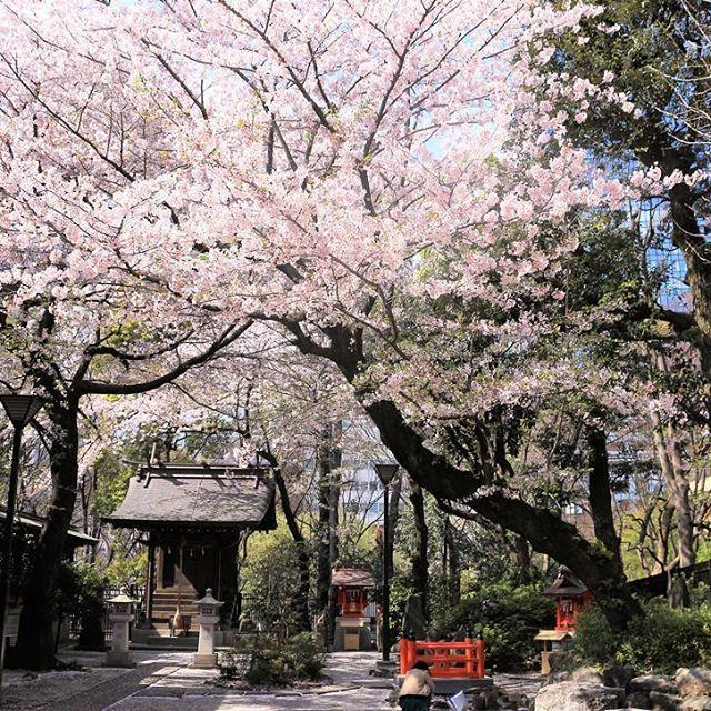 🌸🌸🌸🌸🌸🌸🌸 #shrine #japan #sakura #tokyo #shinjuku #april #instatravel #instamoment #travel #travelblogger #東京 #日本 #4月#桜 #peaceofmind #wanderlust #travelphotography #yumetraveller #traveller #sun #home #soulcity #travelersnotebook #travelblogger  #cherrytree #cherryblossom #春