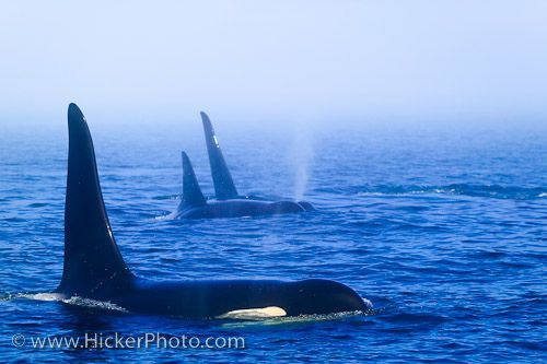 Family pod of northern resident Killer Whales in the fog off Northern Vancouver Island in Queen Charlotte Sound, British Columbia, Canada