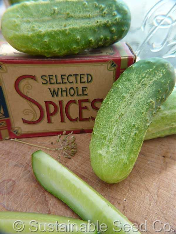 Boston Pickling. One of the best pickling cucumbers to grow.