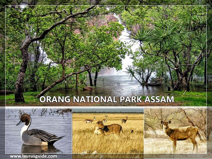 The Orang National Park, located on the north bank of the Brahmaputra River in the Darrang and Sonitpur districts of Assam, India, covers an area of 78.81 square kilometres (30.43 sq mi). It was established as a sanctuary in 1985 and declared a national park on 13 April 1999. It is also known as the mini Kaziranga National Park (IUCN site) since the two parks have a similar landscape made up of marshes, streams and grasslands.