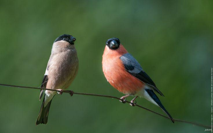 Oiseau bouvreuil pivoine un couple du printemps Plus