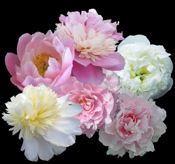 PASTEL PEONY COLLECTIONS AT PEONY FARM, have a slice of Renoir in your garden!