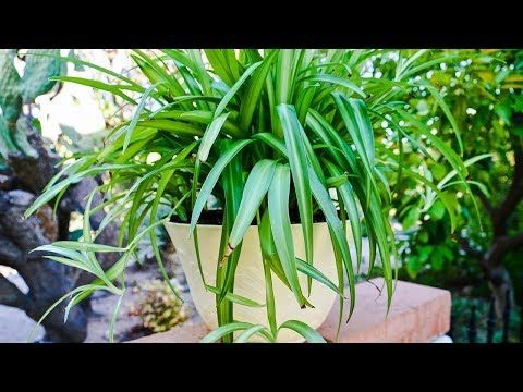 Learn What To Do About Spider Plant Leaves Turning Brown Learn What Conditions Negatively Effect The Pl Plants Plant Leaves Turning Plant Leaves Turning Brown