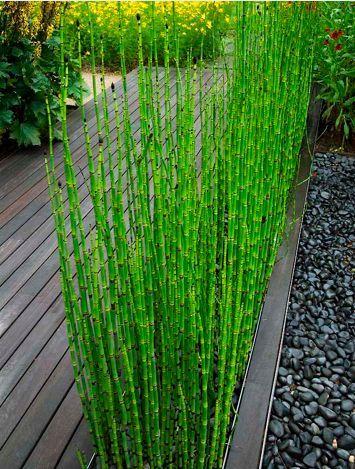 Une bordure d'equisetum japonicum (prêle japonaise, plante de bassin qui se plaît également dans un sol humide) apporte une note végétale au milieu du gris de la terrasse.