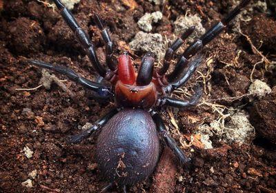 Dracula spider?