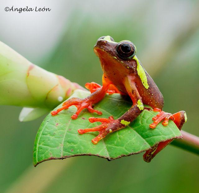 Dendropsophus sarayacuensis