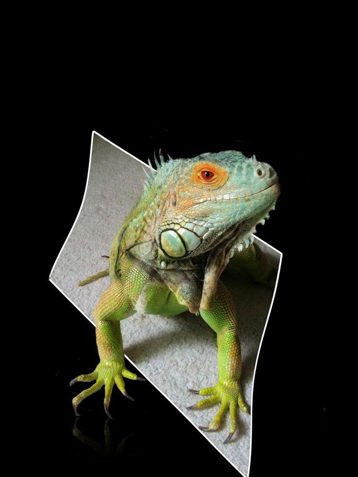 iguana-1034869.jpg (1536×2048)
