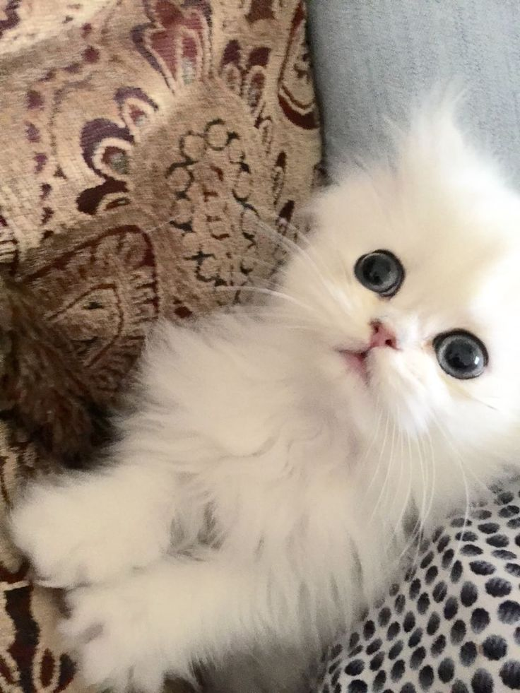 White persian kittens for sale vancouver