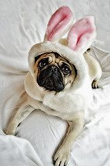 Easter pug...