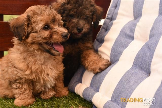 Golden Bichoodle Puppies Bichon Frise X Toy Poodle In 2020