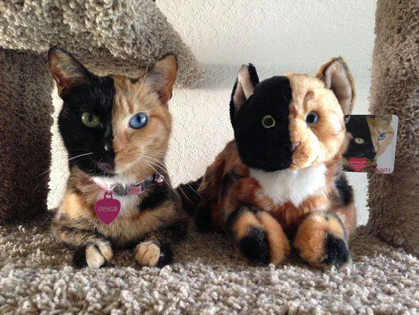 Vénus n'est pas une chatte comme les autres… Son visage est composé de deux parties complètement différentes !