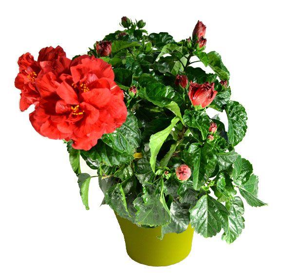 17 best images about plantes d 39 int rieur avec pots vert on pinterest aloe vera hibiscus and. Black Bedroom Furniture Sets. Home Design Ideas