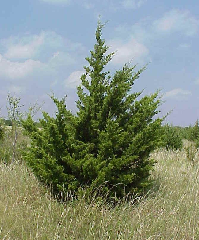 Eastern Red Cedar Varieties ~ Images about windbreak on pinterest trees masons