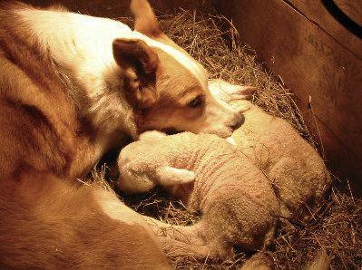 Welsh Border Collie / Welsh Sheepdog #Dogs