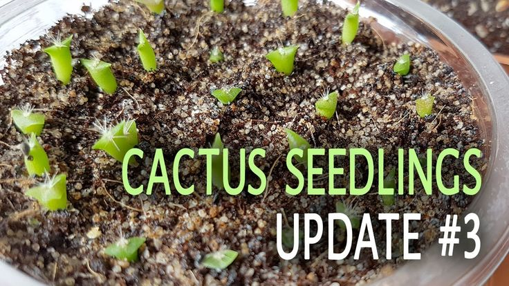 Cactus Seedlings Update #3 - 04.07.2017  Here is an update on all the cactus seedlings I have.  Good new is that the fungus are gone and the seedlings are growing. :)